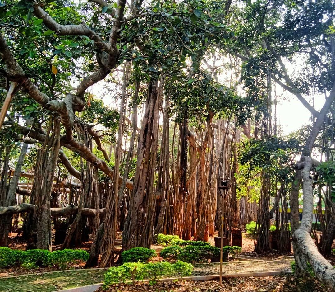 Dodda Alada Mara, Big Banyan Tree
